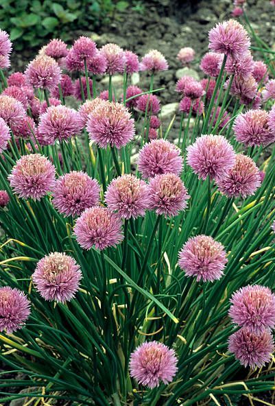allium schoenoprasum, chives, pink purple flowers alliums