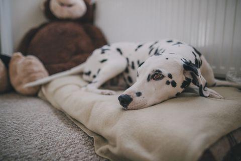 dálmata en una cama