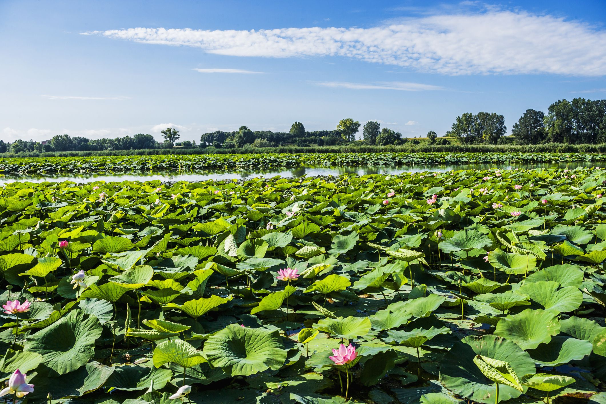 Flowers Online 2018 What Does A Lotus Flower Mean Flowers Online