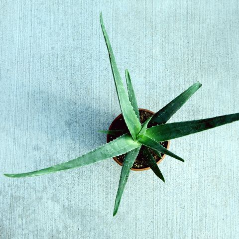 Directly Above Shot Of Aloe Vera In Potted Plant
