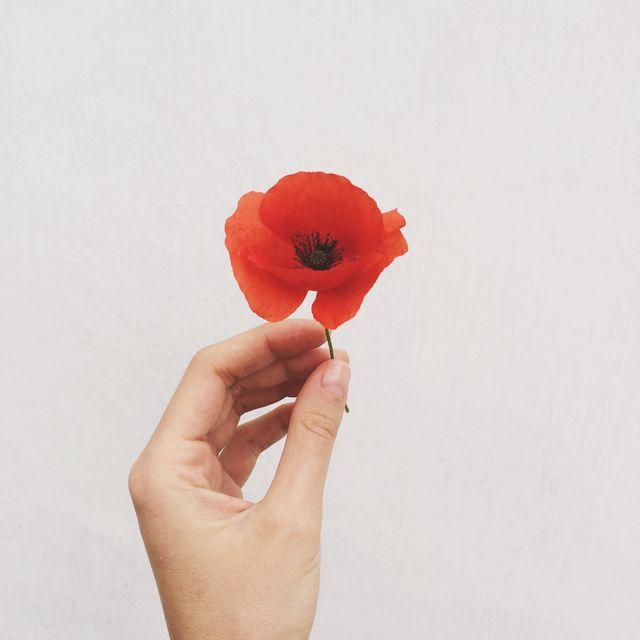 Human hand holding poppy flower