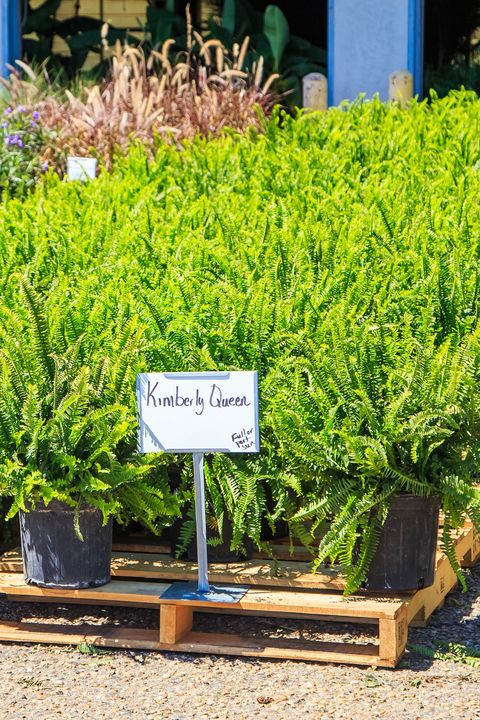 queen fern for sale at a farmers in montgomery, alabama