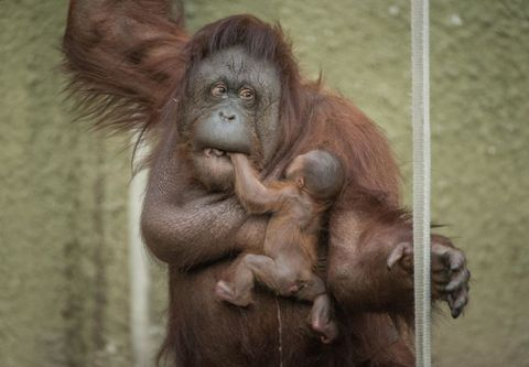 Orangutans Are Better Than Children at Making Tools, Study Finds