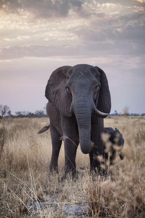 Elephant, Terrestrial animal, Elephants and Mammoths, Wildlife, African elephant, Indian elephant, Grassland, Tusk, Savanna, Wilderness,