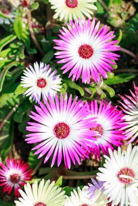 livingstone daisies
