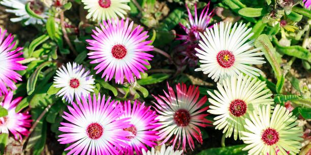 How to Care for Ice Plant