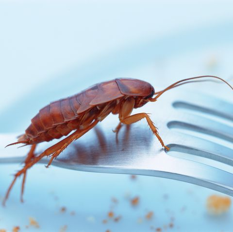 do cockroaches bite - can cockroaches carry disease