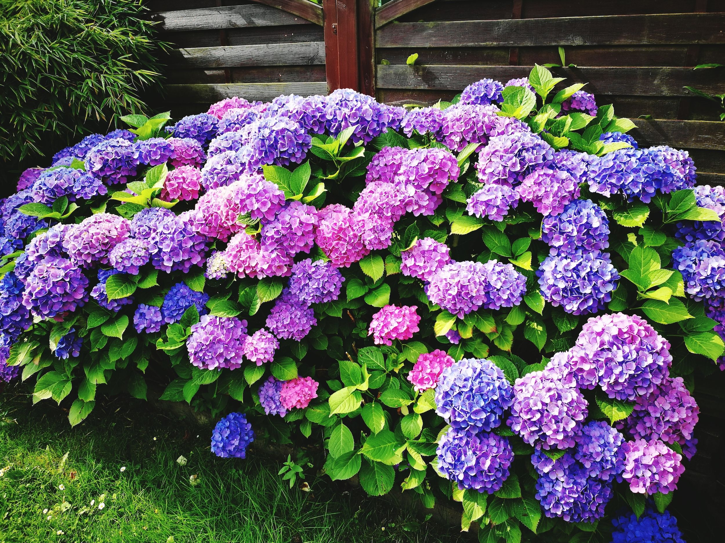 You Can Change the Color of Your Hydrangeas with This Simple Trick