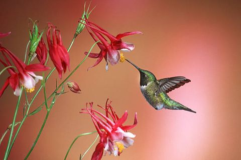 the ruby throated hummingbird archilochus colubris is a species of hummingbird that generally spends the winter in central america and migrates to eastern north america for the summer to breed it is by far the most common hummingbird seen east of the mississippi river in north america