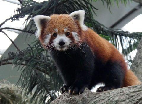 Red panda, Organism, Daytime, Branch, Vertebrate, Terrestrial animal, Carnivore, Nature reserve, Snout, Adaptation,