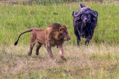 African Buffalo chasing male lion.