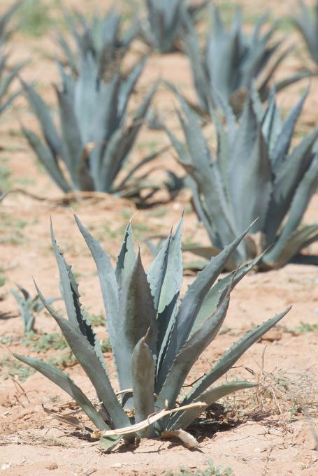 Plant, Agave azul, Agave, Flowering plant, Plant community, Botany, Terrestrial plant, Flower, Aloe, Succulent plant,