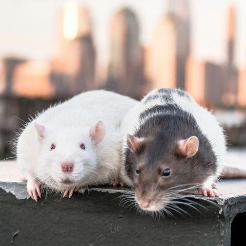 rat bar rat cafe