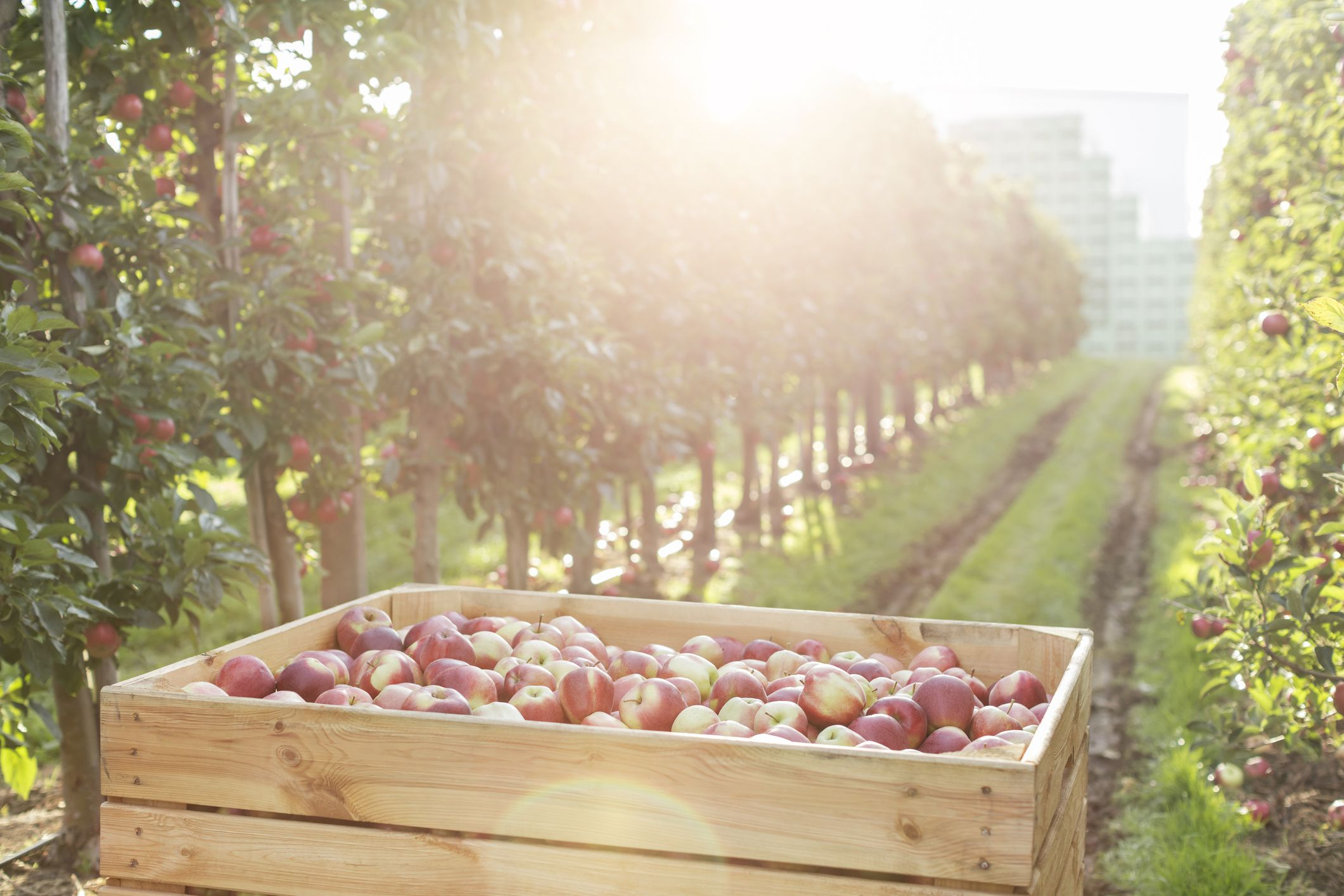 Red apples in bin in sunny orchard