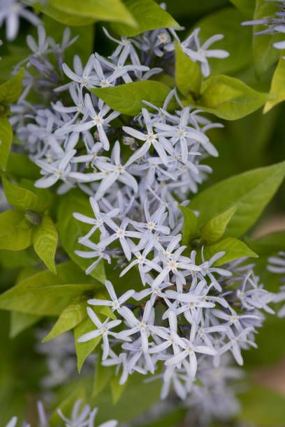 eastern bluestar or woodland blue star, amsonia tabernaemontana short stack