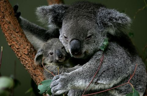 Baby Koala Boosts Taronga Zoo's Breeding Program