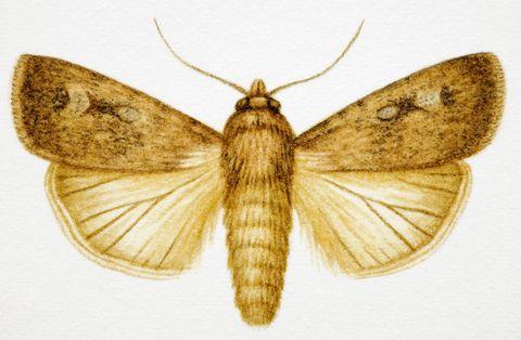 Moths and butterflies, Moth, Insect, Invertebrate, webbing clothes moth, Bombycidae, Lymantria dispar dispar, Bombyx mori, Hofmannophila pseudospretella, Arthropod,