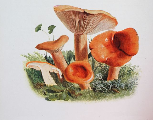 lactaria mitissima mushroom, digital reproduction of an ilustration of emil doerstling 1859 1940 photo by bildagentur onlineuniversal images group via getty images