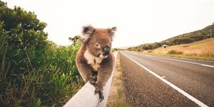 Great ocean road Koala