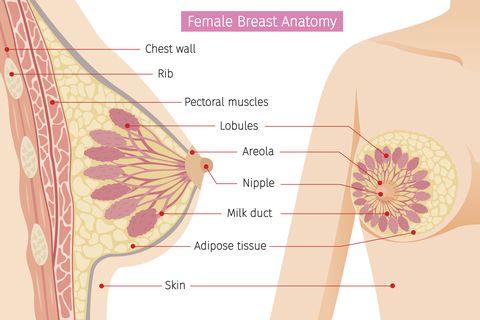 mammary, boob, body, organs, physical, sickness, health