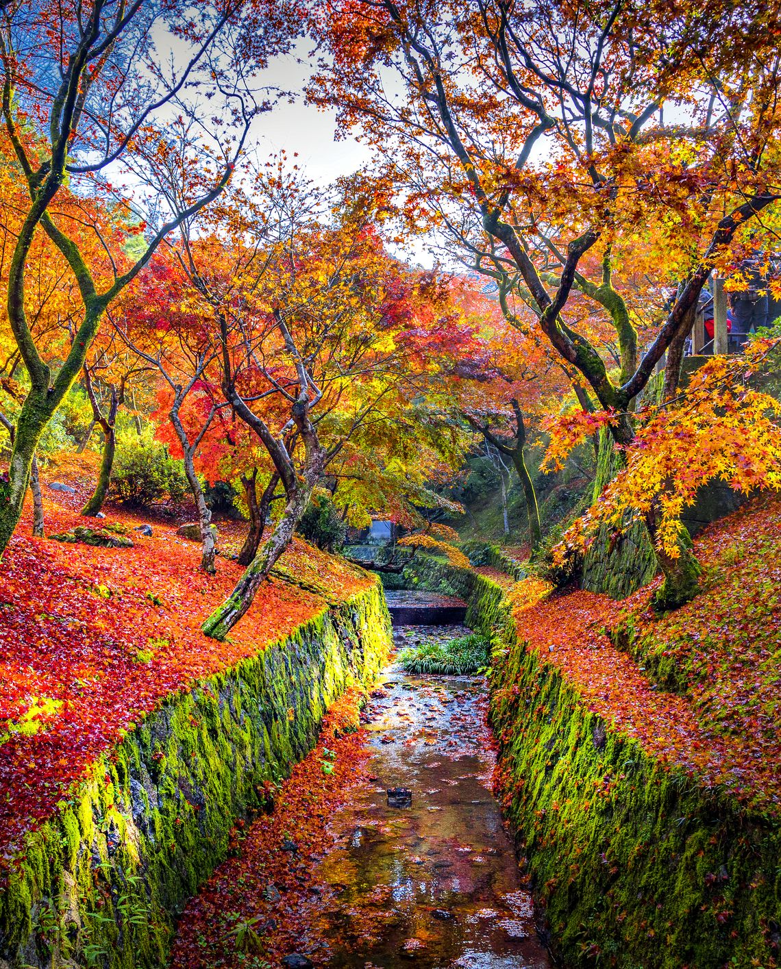 Colourful Maple Tree with Canal