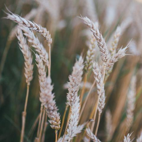 Grass, Plant, Grain, Grass family, Phragmites, Dinkel wheat, Food grain, Close-up, Whole grain, Rye,