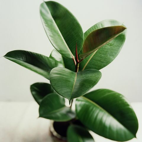 potted rubber tree plant
