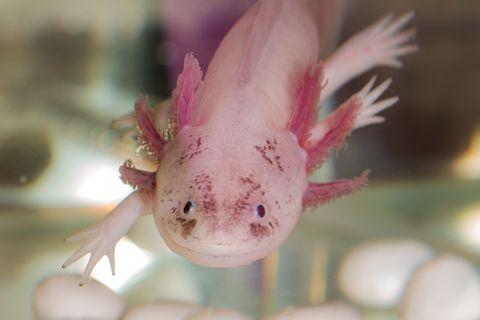 Vertebrate, Axolotl, Amphibian, Salamander, Organism, Mole salamander, Tail,