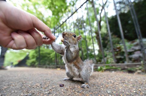 Squirrel, Grey squirrel, ground squirrels, Fox squirrel, Chipmunk, Rodent, Tail, Hand, Snout, Wildlife,