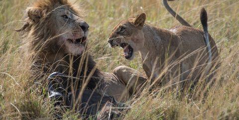 Mammal, Wildlife, Vertebrate, Lion, Terrestrial animal, Felidae, Masai lion, Big cats, Savanna, Safari,