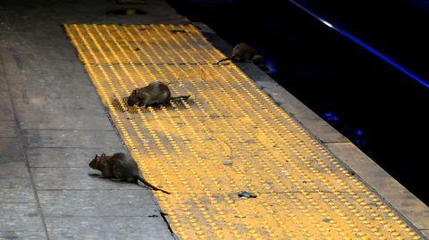 rats new york subway