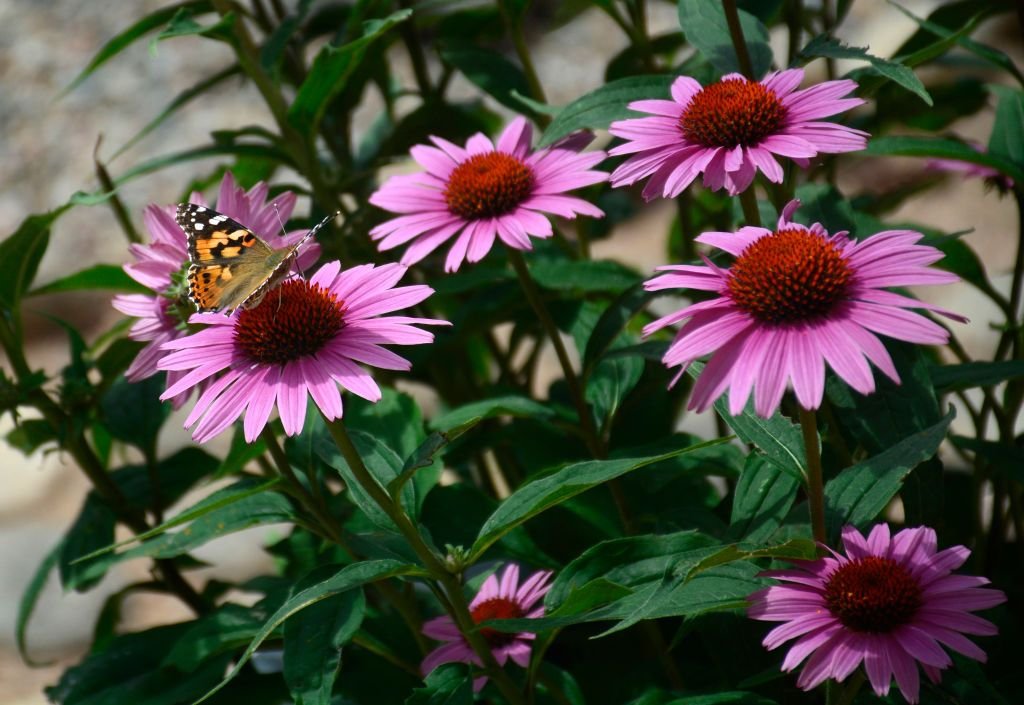 Purple Coneflowers Will Attract Goldfinches to Your Yard—And the Seeds Are Only $7