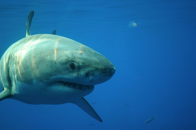 a great white swims towards camera revealing its large size, aware that something is there, it curiously gets close this magnificent creature is one of the most feared animal in the world and has a one of the most renown characteristics than any shark