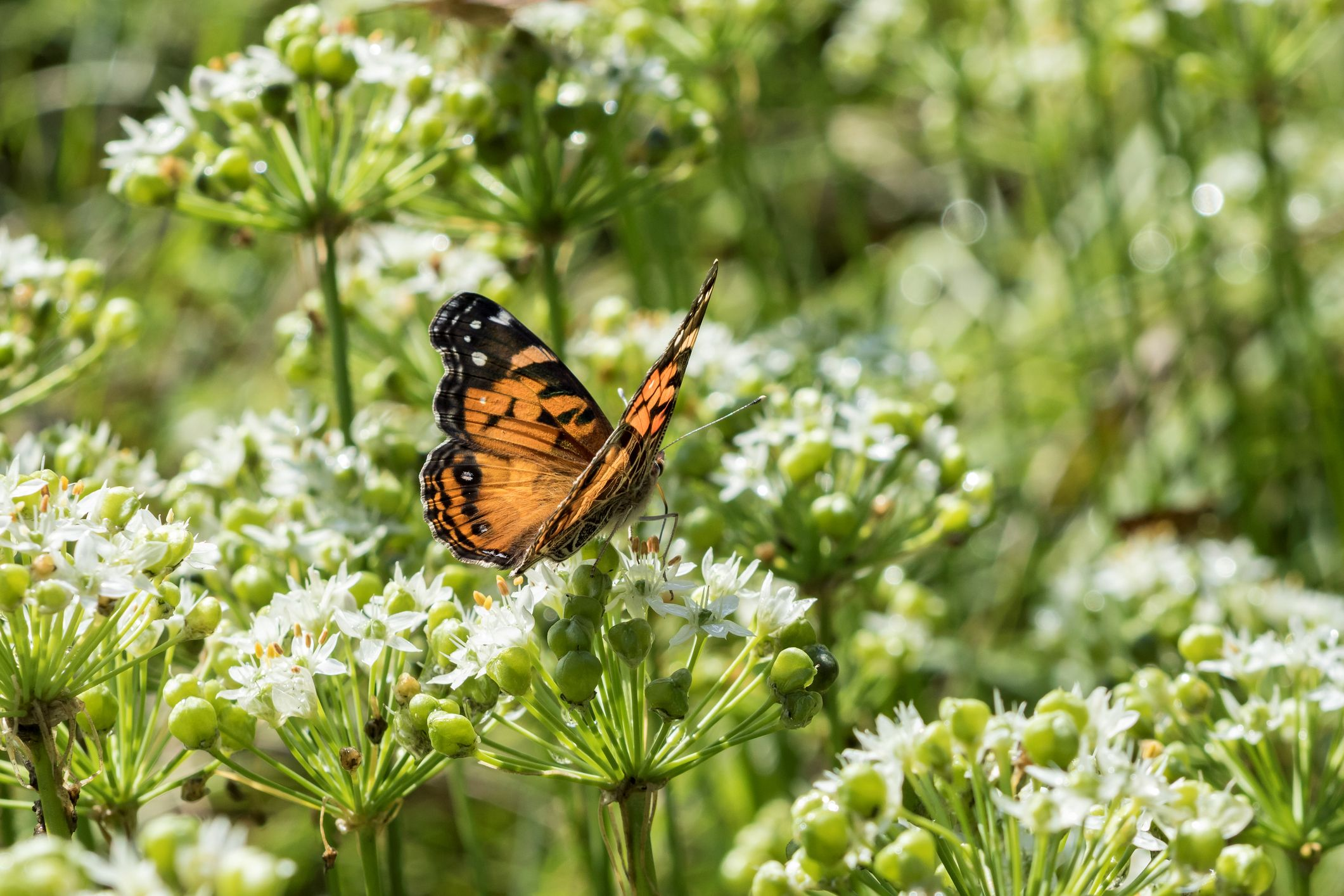 The UK has seen a mass influx of painted lady butterfly this year – here's why