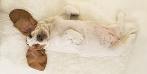 Basset hound puppy lying on its back on a white fur seen from above