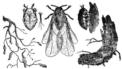 Insect, Organism, Pest, Invertebrate, Illustration, Plant, Lymantria dispar dispar, Membrane-winged insect, Symmetry,