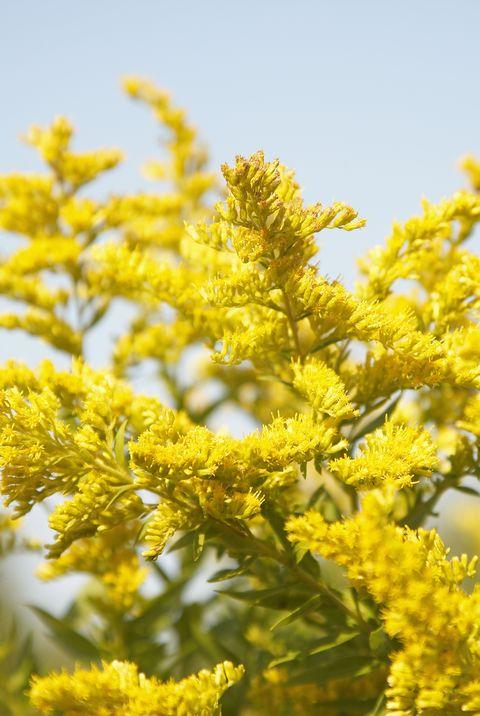 fall flowers goldenrod elle decor