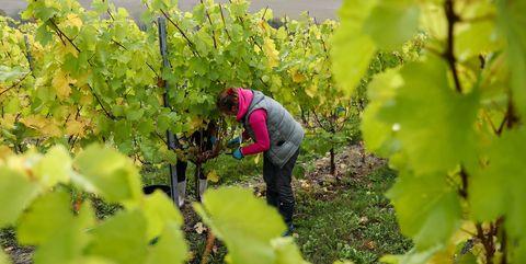 Wine Grape Vines