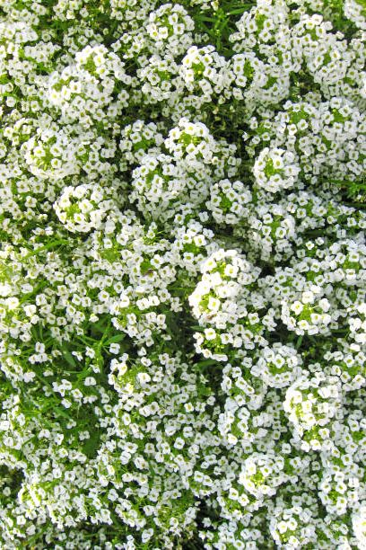 a lot of white flowers of lobularia in the garden