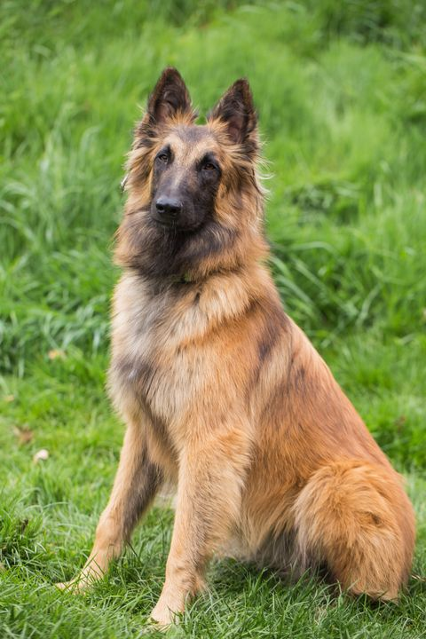 Dog breed, Grass, Carnivore, Dog, King shepherd, Snout, Herding dog, Grass family, Grassland, Old german shepherd dog,