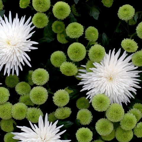 Flower, Flowering plant, Plant, china aster, Chrysanths, Annual plant, Daisy family, Herb, Ice plant family, Petal,