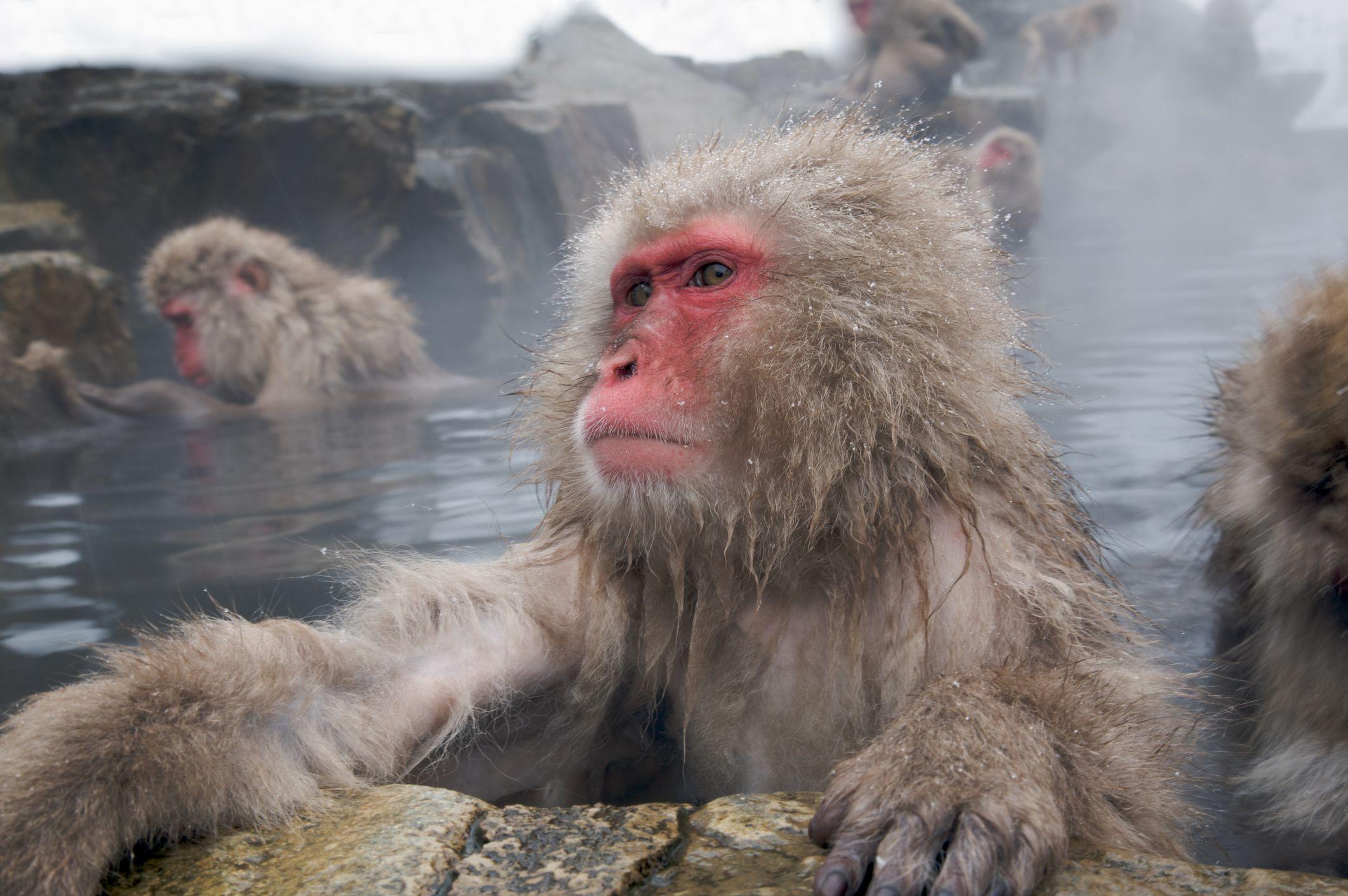 Snow Monkeys Love Hot Baths the Same Reasons Humans Do