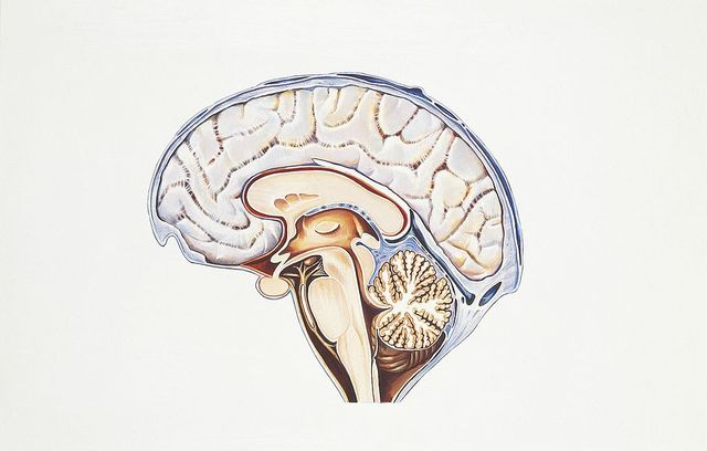 unspecified   august 11  illustration of human brain, cerebral aqueduct aqueduct of sylvius  photo by de agostini via getty imagesde agostini via getty images