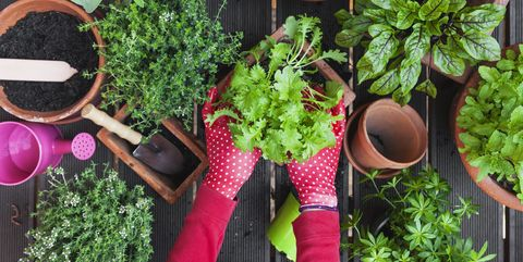 Herb, Plant, Leaf vegetable, Vegetable, Flower, Flowerpot, Garden, Houseplant, Fines herbes, Basil,