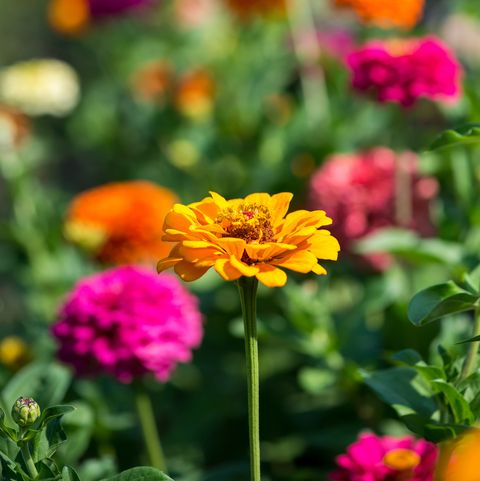 flower, petal, plant, yellow, flowering plant, garden cosmos, zinnia, botany, spring, annual plant,
