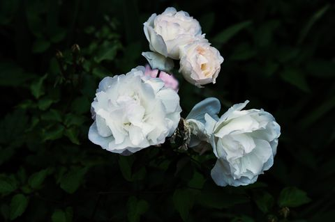 White, Julia child rose, Flower, Petal, Garden roses, Rose, Rose family, Floribunda, Plant, Pink,