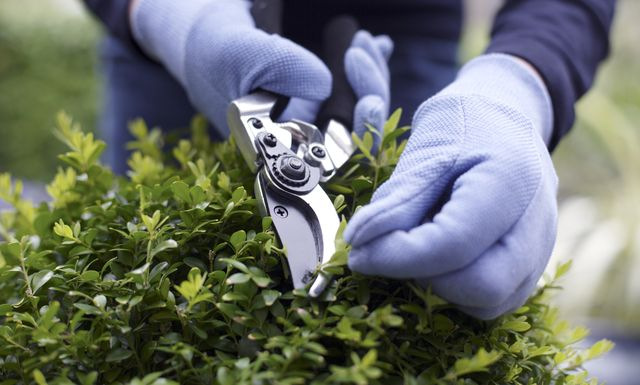 gardening close up of a woman using garden shears to trim a shrub