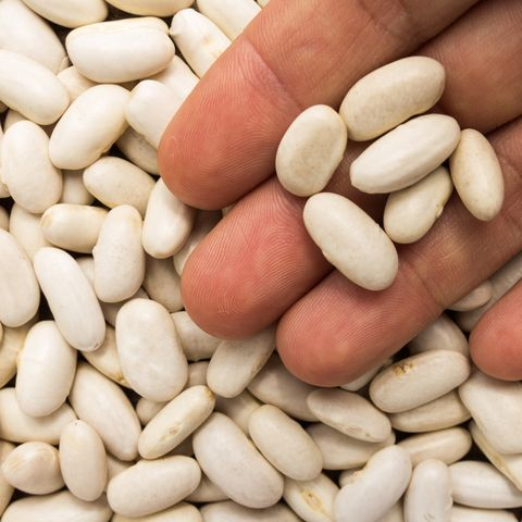 phaseolus vulgaris is scientific name of sugar bean legume also known as feijao rajado or frijol canavalalso known as haricot, pearl bean and feijao branco person with grains in hand macro whole food