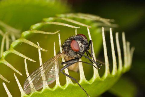 venus flytap