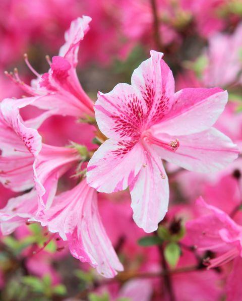 Flower, Flowering plant, Petal, Plant, Pink, Spring, Azalea, Botany, Woody plant, Shrub,